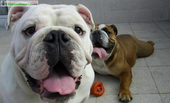 Animaux الحيوانات الأليفة Chiots Bulldog Anglais Alger الجزائر